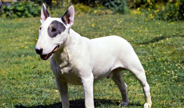 "Bull Terrier aka ""Truth"""