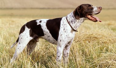 "English Pointer aka ""Falcon"""