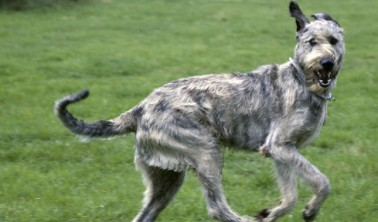 "Irish Wolfhound aka ""Threegional Manager"""