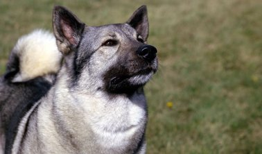 "Norwegian Elkhound aka ""Sweet Lou"""