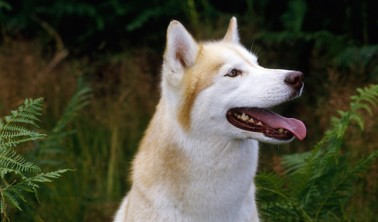 "Siberian Husky aka ""TT"""