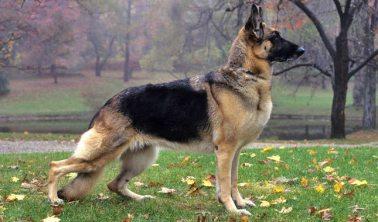 "German Shepherd aka ""Star Child"""